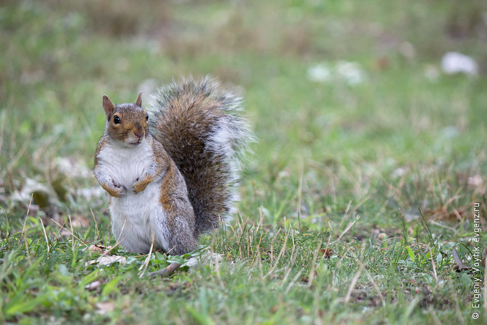 Squirrel on grass looks forward and forepaw pinches under itself