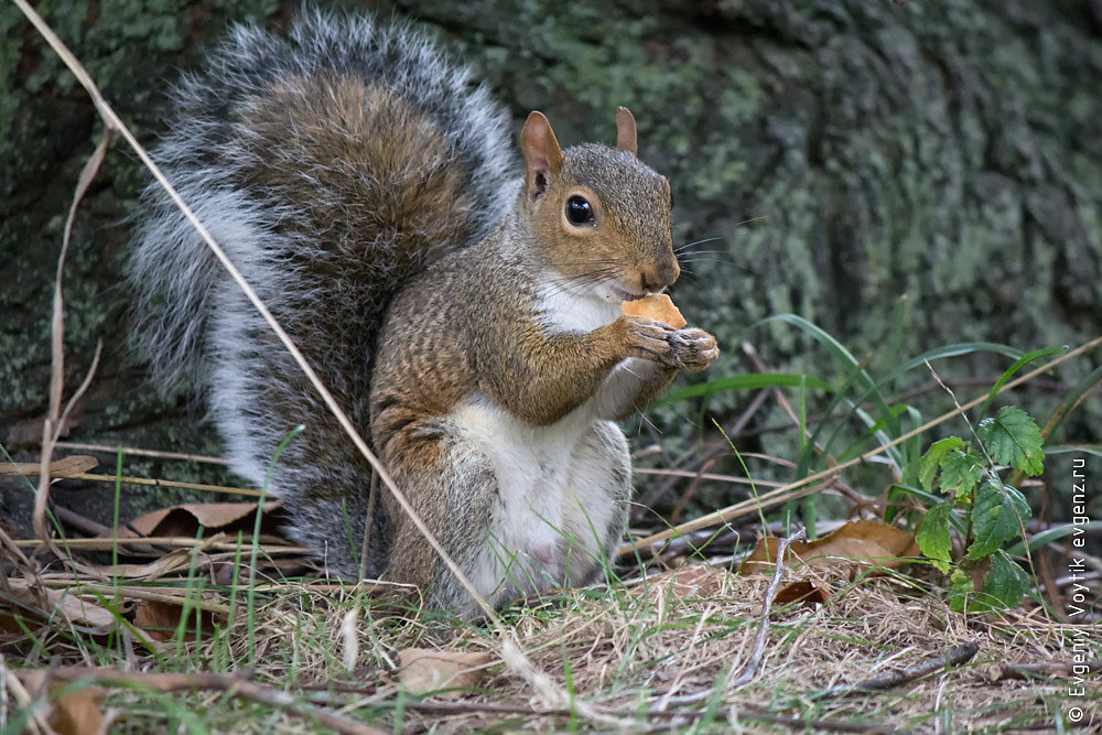 Cute squirrel eating peanut or cracker, very close up foto